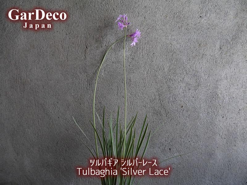 ツルバギア・シルバーレース(Tulbaghia 'Silver Lace')の写真・画像