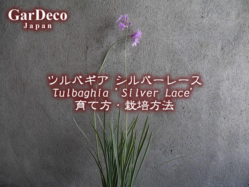 ツルバギア・シルバーレースの育て方・栽培方法