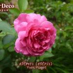 バラ・イブピアッチェの二番花~黒点病感染は環境に大きく依存する~