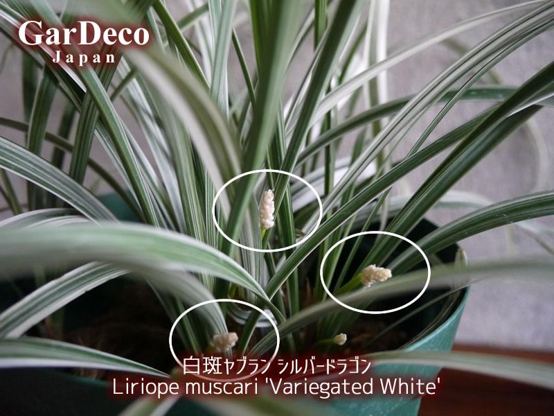 白斑ヤブラン・シルバードラゴンの株元から花茎が見えてきました。