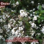 秋におすすめの植物(宿根草): ユーパトリウムチョコレート