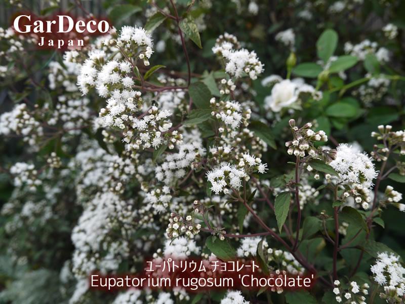 ユーパトリウムチョコレート(ユーパトリウムチョコラータ)の写真・画像