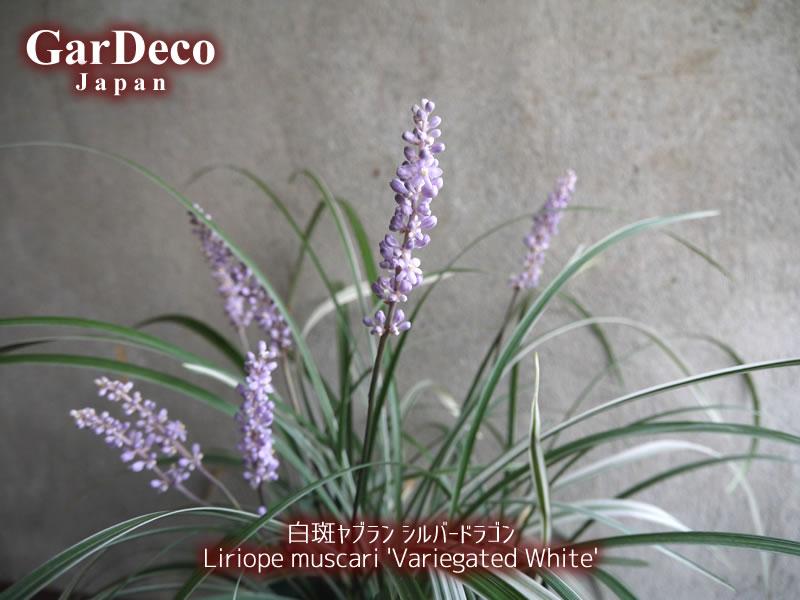 白斑ヤブラン・シルバードラゴンの草姿