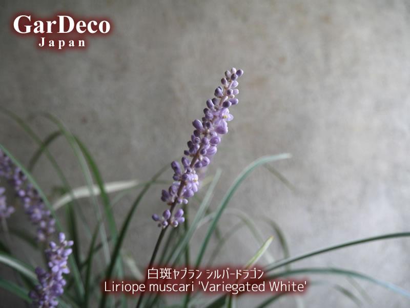 白斑ヤブラン・シルバードラゴンの花穂