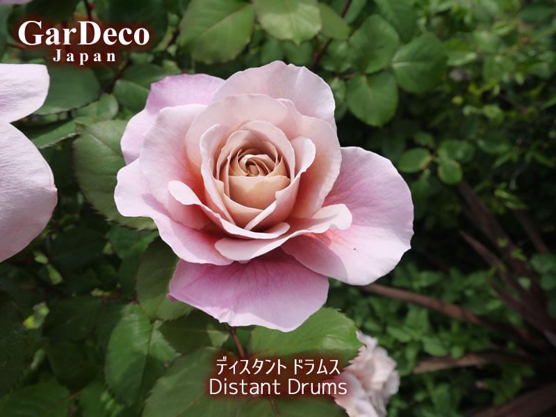 バラの早咲きおすすめ品種⑤ディスタントドラムス