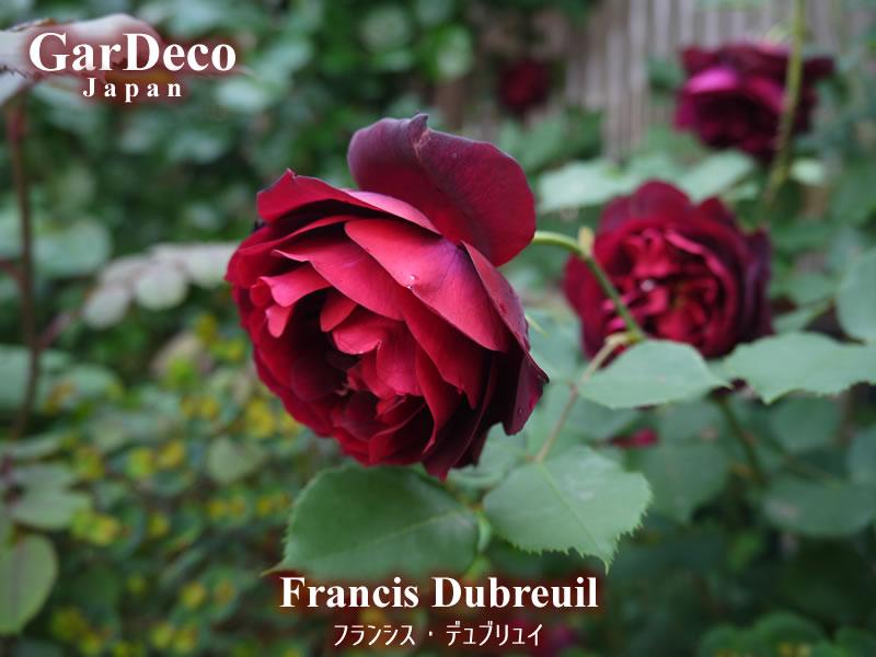 バラの早咲きおすすめ品種②フランシスデュブリュイ