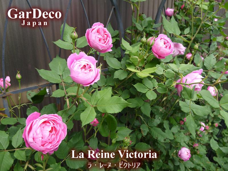 バラの早咲きおすすめ品種③ラレーヌビクトリア