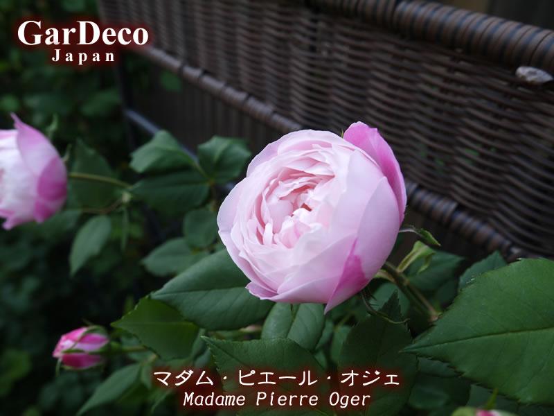 バラの早咲きおすすめ品種④マダムピエールオジェ