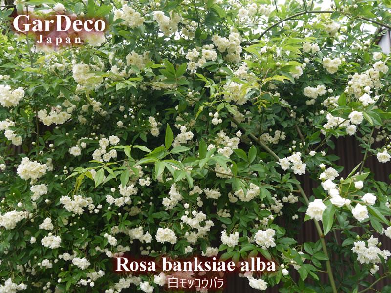 バラの早咲きおすすめ品種①白モッコウバラ