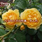 バラの5月の作業・手入れはどうする?~水やり・肥料・剪定・植え替えなど~