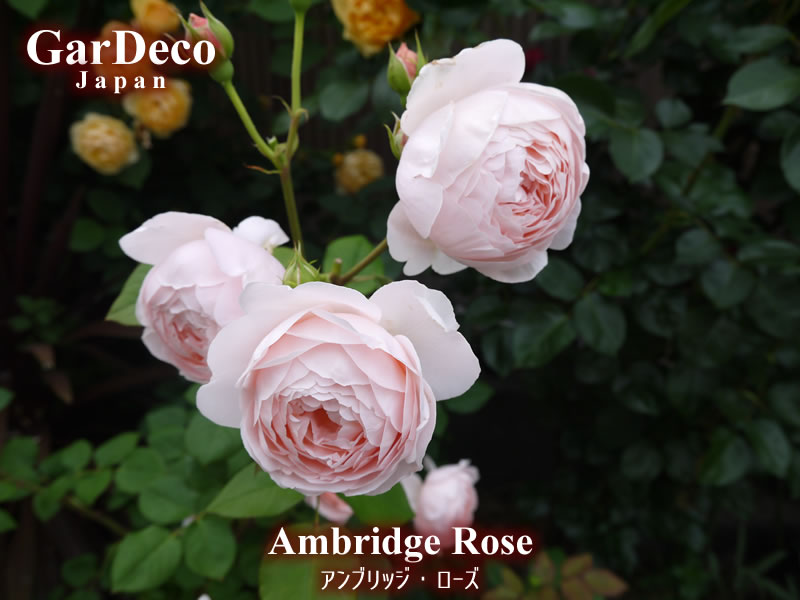 色褪せても美しいオススメの薔薇・アンブリッジローズ
