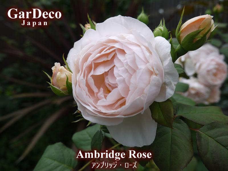 色褪せても美しいおすすめのバラ・アンブリッジローズ