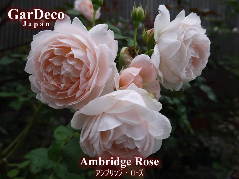 散る間際まで美しい…おすすめのバラ・アンブリッジローズ