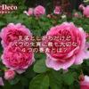 見落としがちだけどバラの生育に最も大切な4つの要素とは?