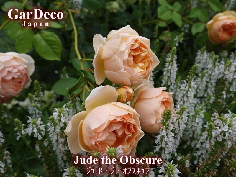 ジュードジオブスキュアは濃厚でフルーティーな香りも魅力のバラ