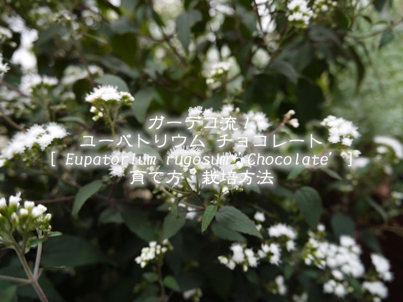ユーパトリウムチョコレート(ユーパトリウムチョコラータ)の育て方・栽培方法