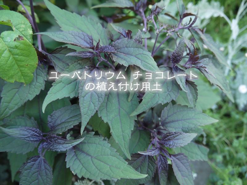 ユーパトリウムチョコレート(ユーパトリウム・チョコラータ)の植え付け用土