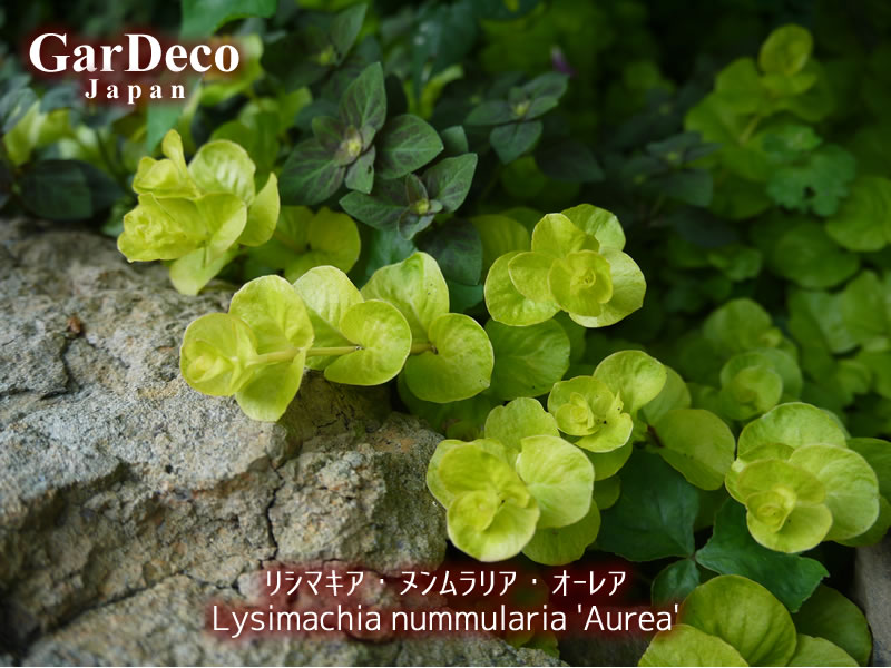 グランドカバーにおすすめの植物、リシマキア・ヌンムラリア・オーレア