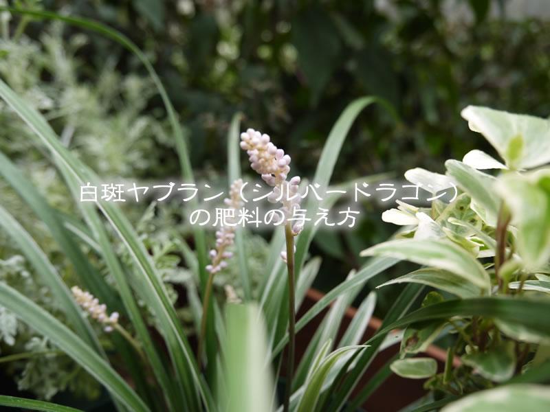 白斑ヤブラン(シルバードラゴン)の肥料の与え方