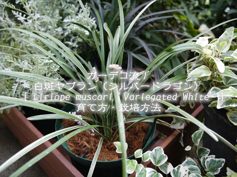 白斑ヤブラン(シルバードラゴン)の育て方・栽培方法