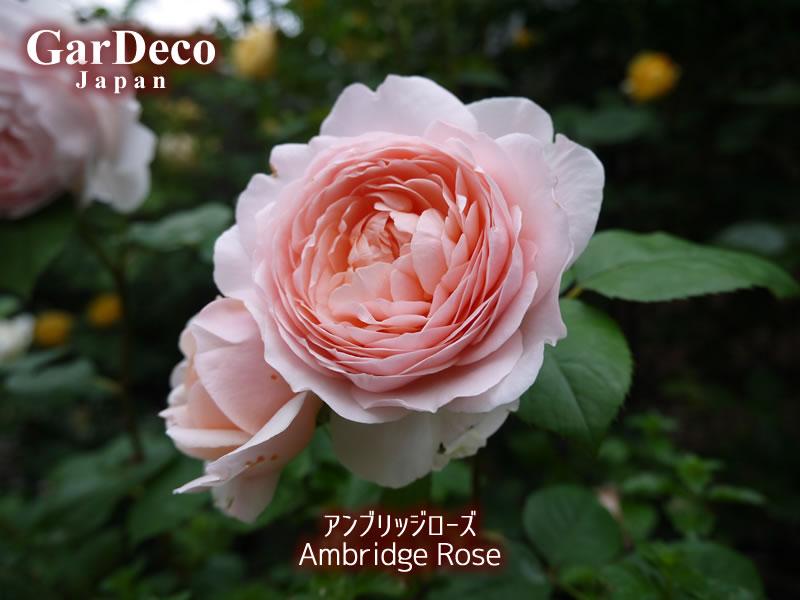 おすすめのバラ(薔薇)、アンブリッジローズ