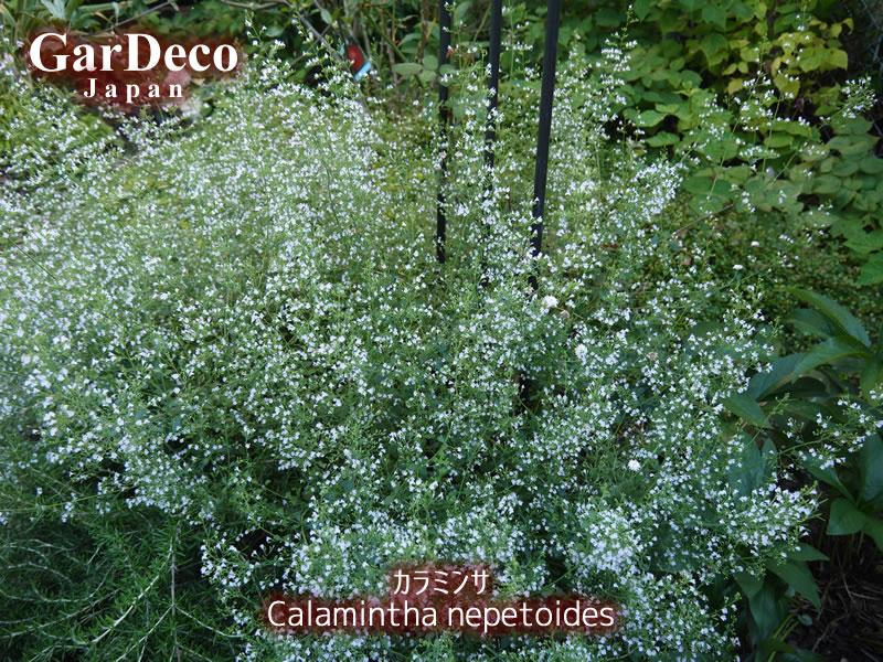 おすすめの宿根草、カラミンサ(カラミント)