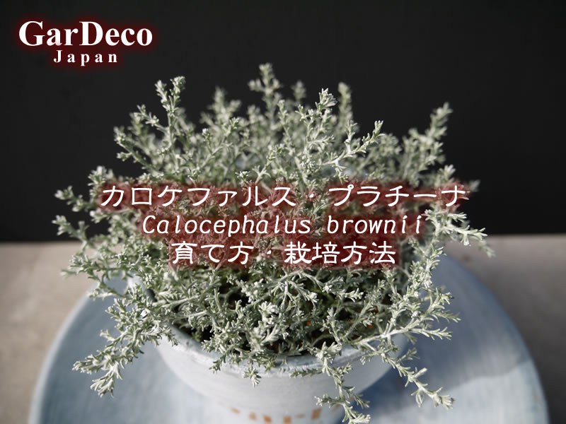 カロケファルス・プラチーナ(クッションブッシュ、シルバーブッシュ)の育て方・栽培方法