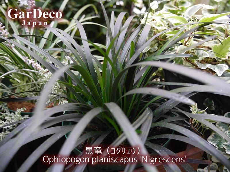 おすすめのカラーリーフ植物:コクリュウ(黒竜)