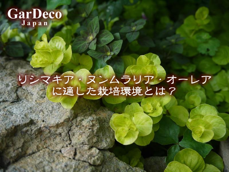 リシマキア・ヌンムラリア・オーレアに適した栽培環境とは?