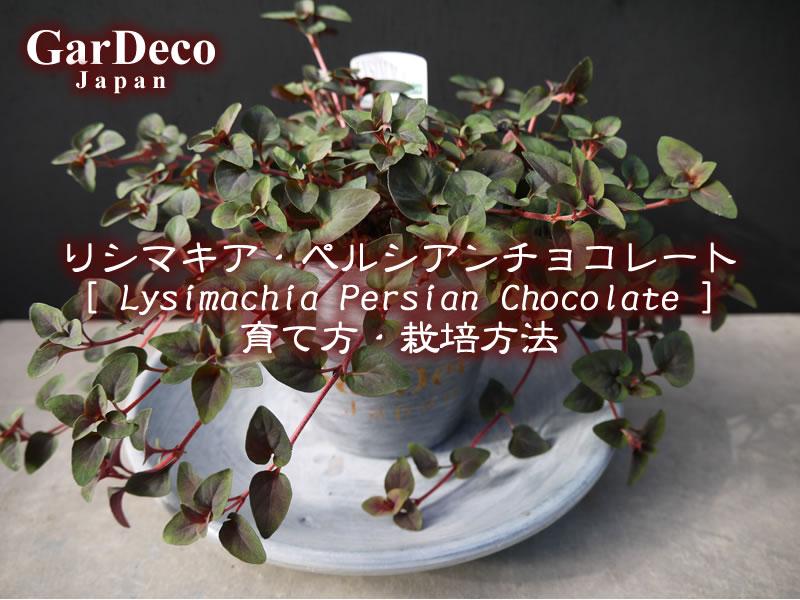 リシマキア・ペルシャンチョコレート(リシマキア・ペルシアンチョコレート)の育て方・栽培方法