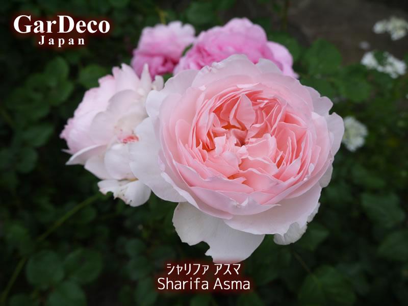 おすすめのバラ、シャリファアスマ
