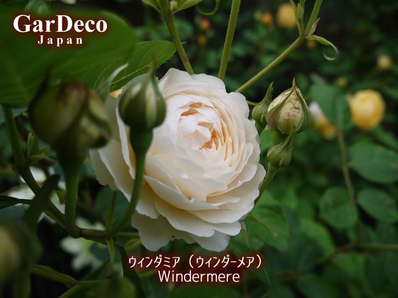 オススメのバラ(薔薇)、ウィンダミア(ウィンダーメア)