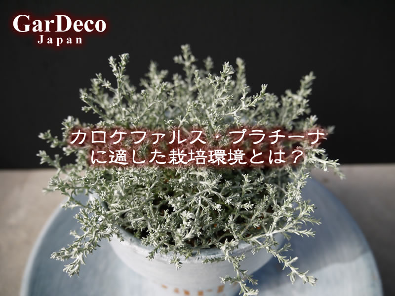 カロケファルス・プラチーナに適した栽培環境とは?