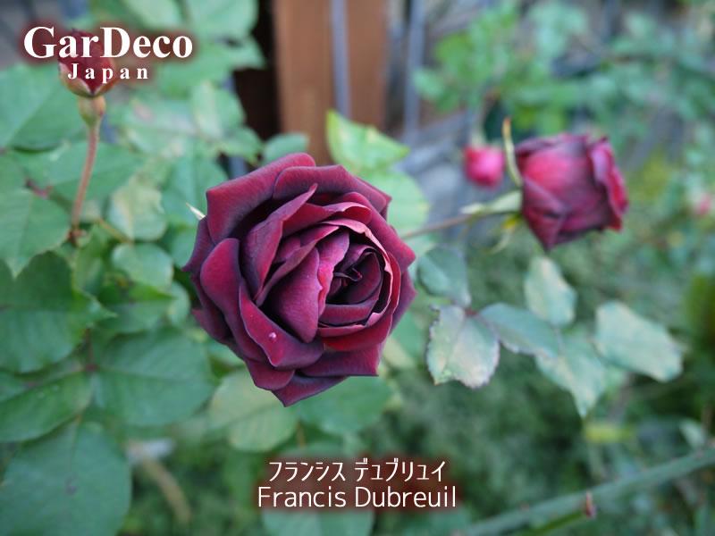 フランシスデュブリュイの冬の花
