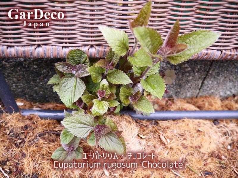 ユーパトリウムチョコレートが芽吹き始めました。