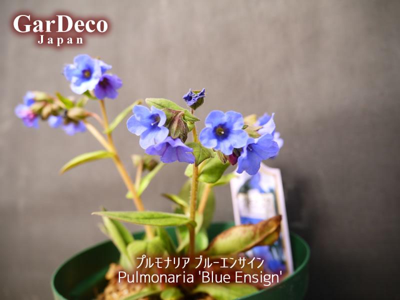 プルモナリア・ブルーエンサインが開花しています。