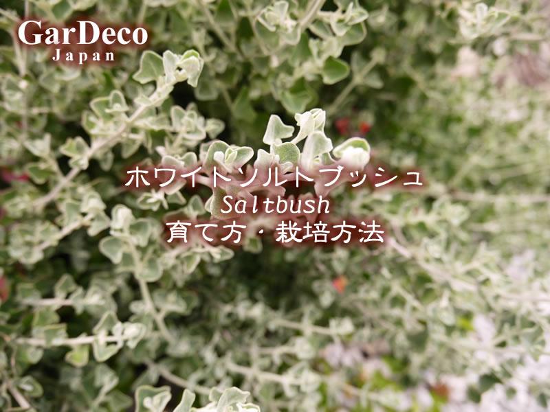 ホワイトソルトブッシュ(ラゴディアハスタータ)の育て方・栽培方法