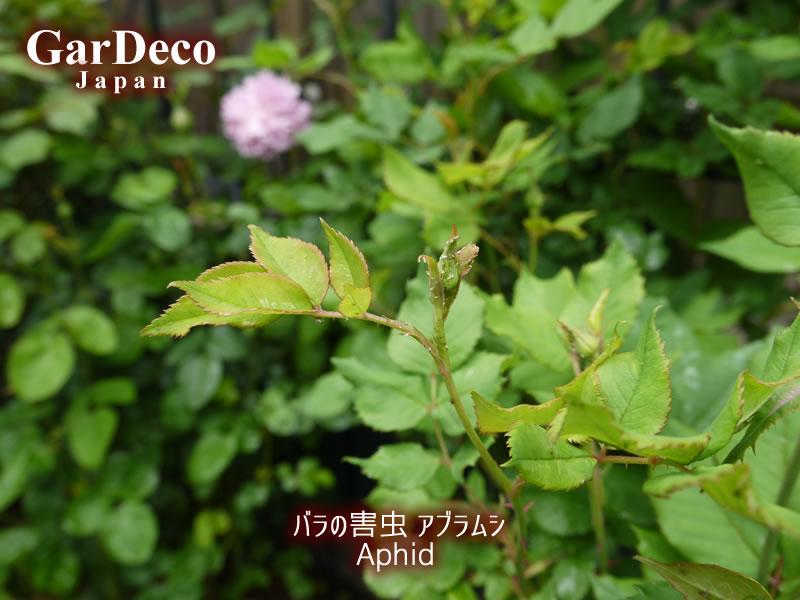 バラの害虫、アブラムシの写真・画像