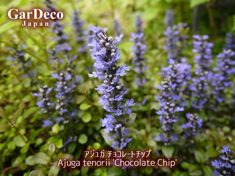 アジュガ・チョコレートチップの写真・画像
