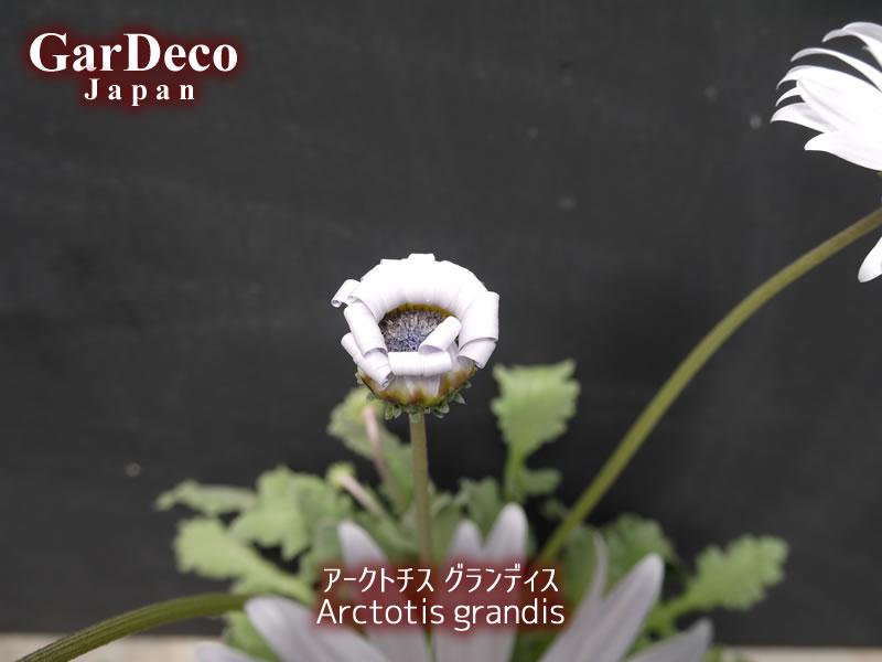 アークトチスグランディスの花持ち(花保ち)日数はどれくらい?