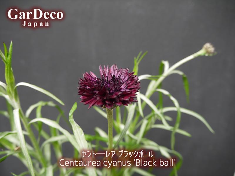 セント―レア・ブラックボールの写真・画像