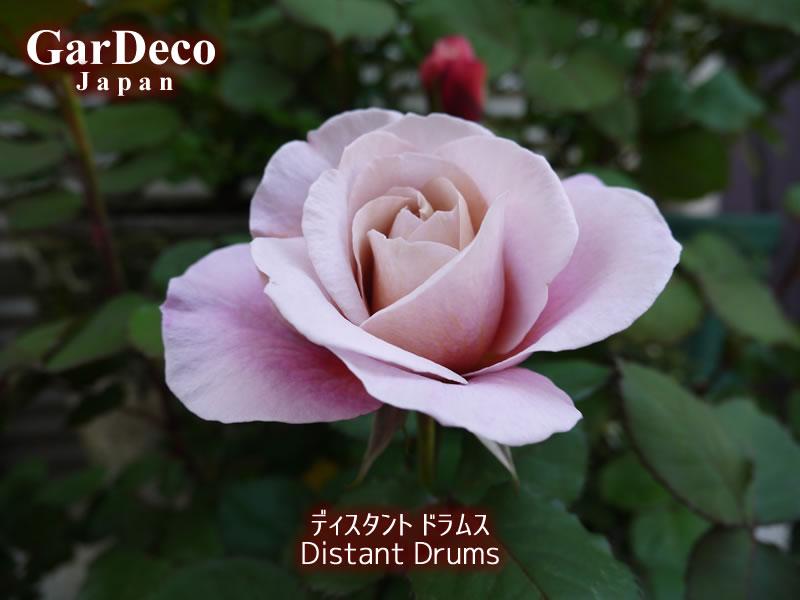 ディスタントドラムス(バラ)がもうすぐ開花です。