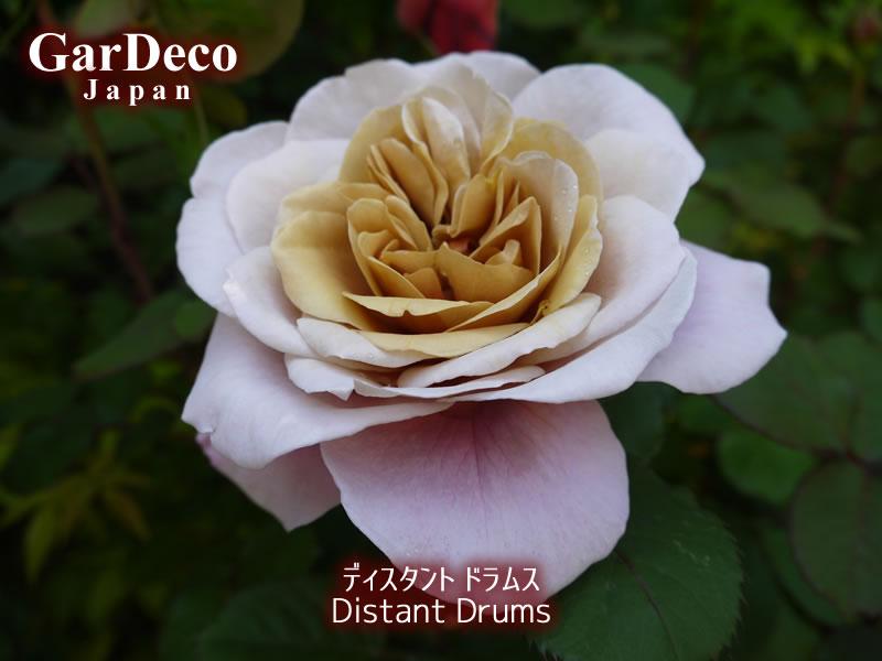 ディスタントドラムス(バラ)2017年の一番花