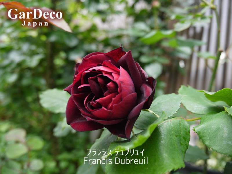 フランシスデュブリュイ(薔薇)の写真・画像