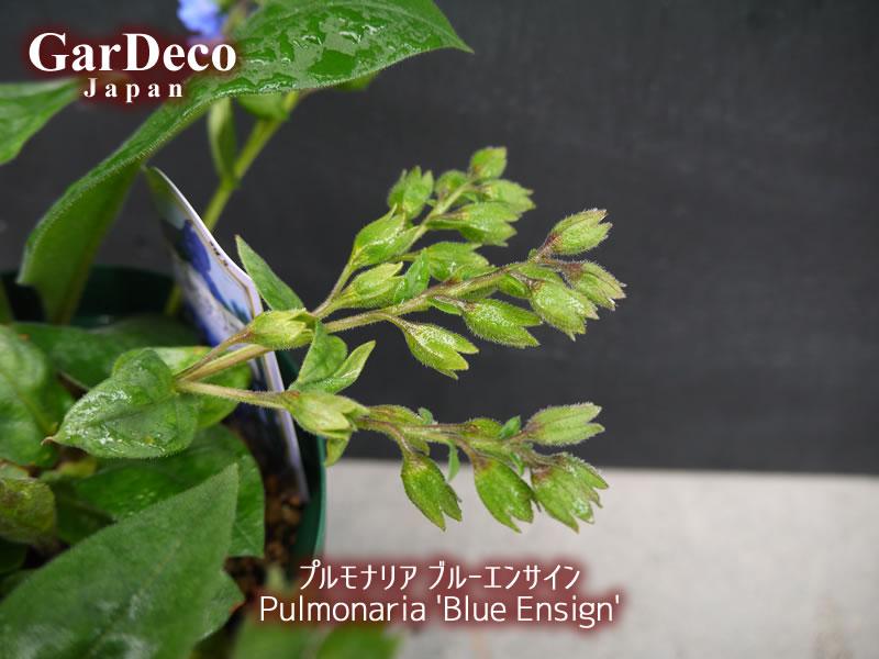 プルモナリア・ブルーエンサインの花がら摘み