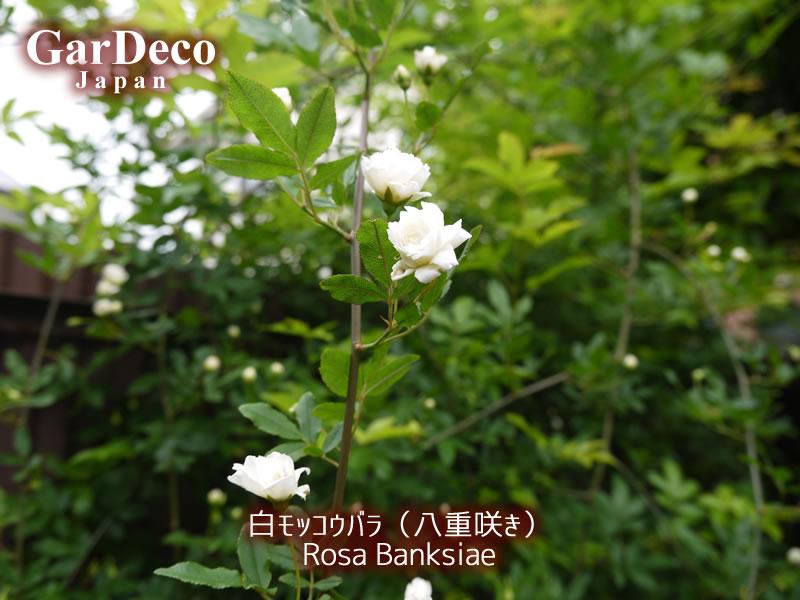 白モッコウバラ(八重咲き)が開花しました…が、花数少ないですね。