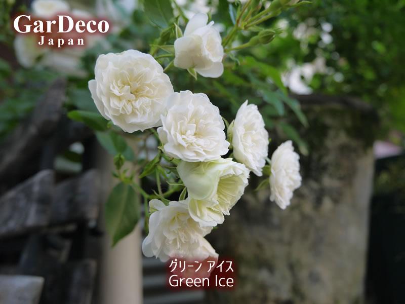 ミニバラ・グリーンアイスの写真・画像