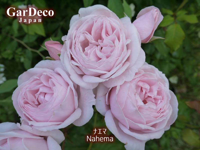 鉢植えのバラ・ナエマ(Nahema)の写真・画像