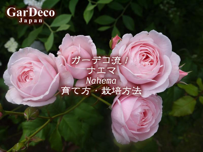 ガーデコ流!のバラ・ナエマ(Nahema)の育て方・栽培方法