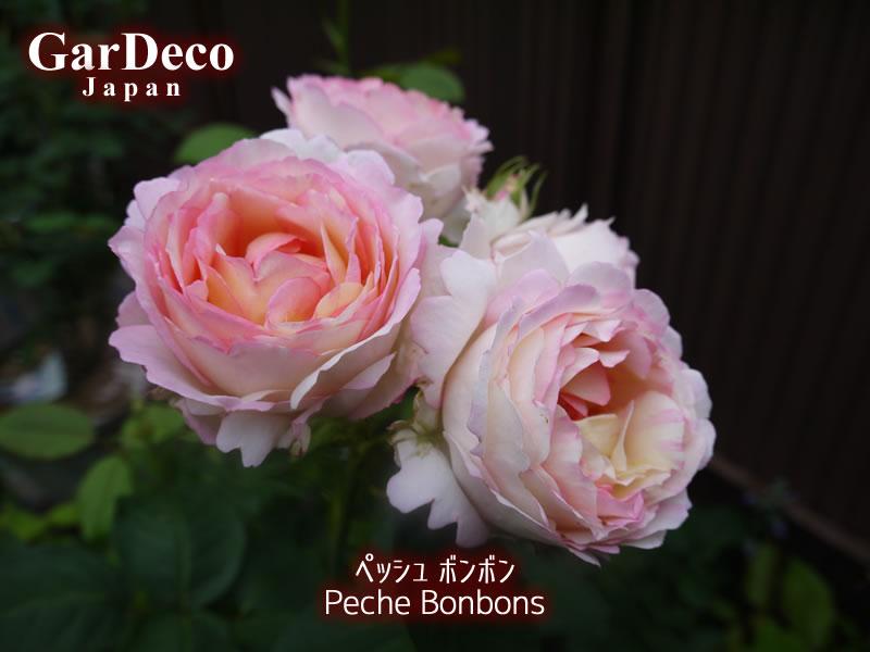 ペッシュボンボン(バラ)の写真・画像